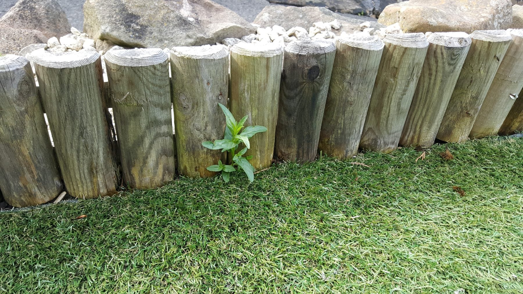 weeds on artificial grass